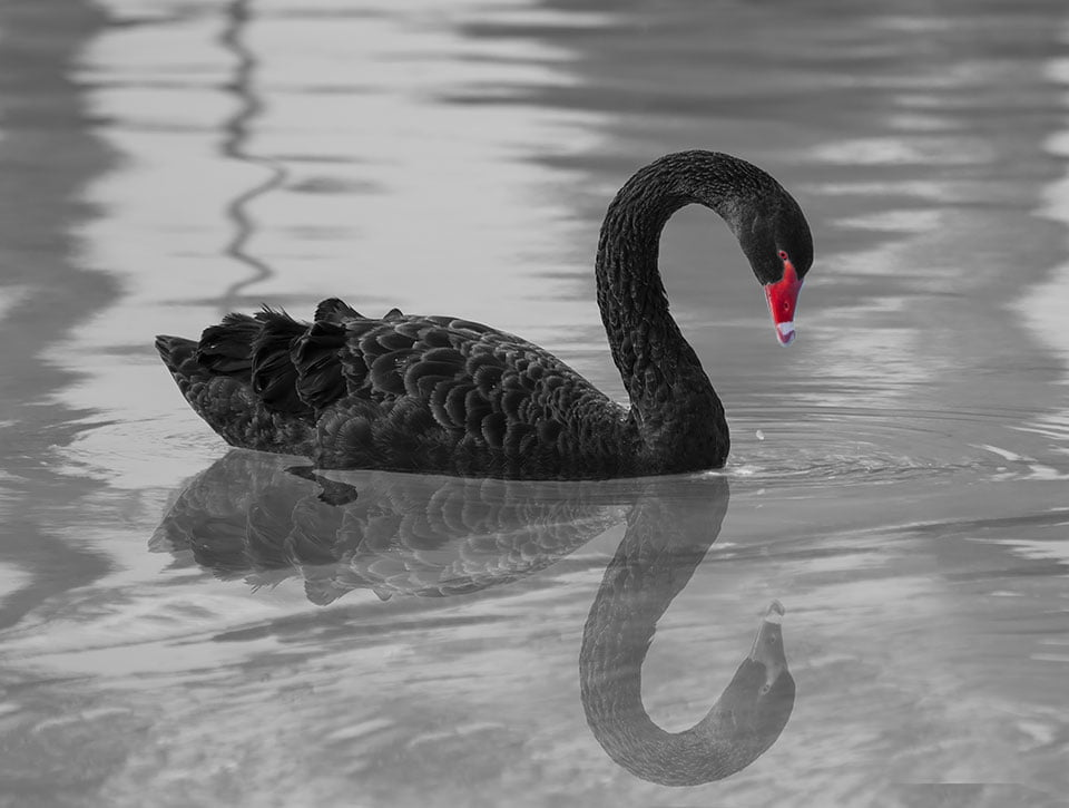 Black Swan Sighting as Tech Stocks Power On